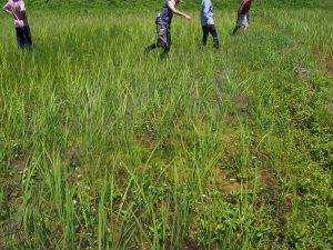 Organic Rice Paddy